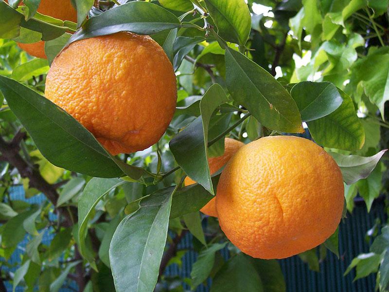 Citrus bigaradia flower