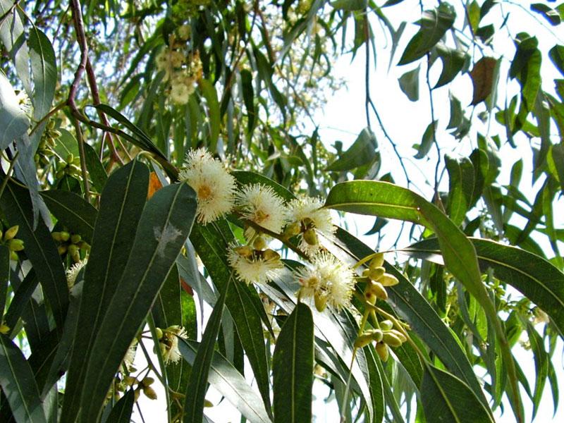 Eucalyptus globolus
