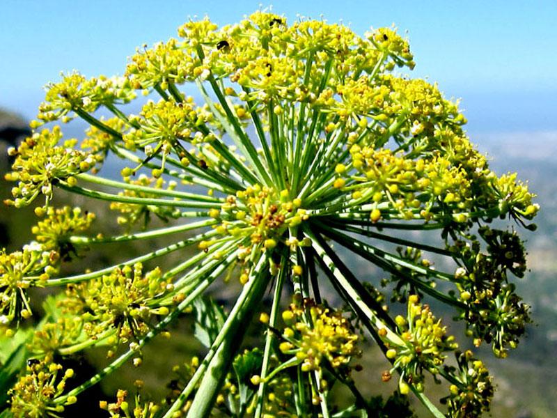 Galbanum (ferula gumosa)