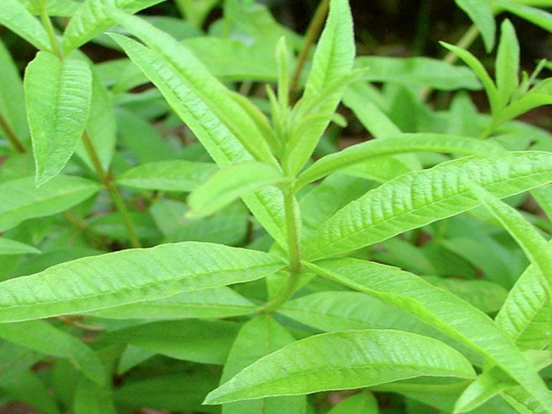 Lemon verbena (lippia citriodora)